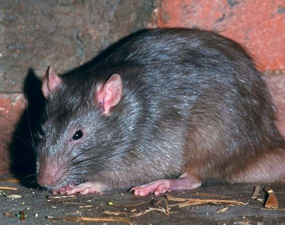 commensal rodent